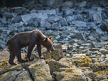 An young brown bear (Ursus arctos), in Geographic Harbor, Katmai National Park, Alaska, United States of America, North America