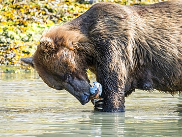 A mother brown bear (Ursus arctos), feeding on clams in Geographic Harbor, Katmai National Park, Alaska, United States of America, North America