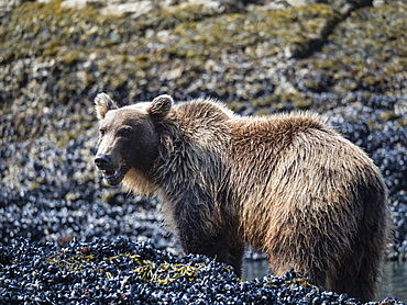 Young brown bear (Ursus arctos), feeding at low tide in Geographic Harbor, Katmai National Park, Alaska, United States of America, North America