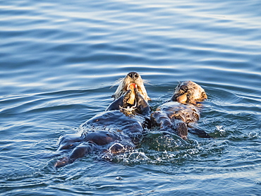 A mother and pup sea otter (Enhydra lutris), in Monterey Bay National Marine Sanctuary, California, United States of America, North America