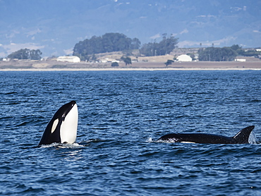 Transient type killer whale (Orcinus orca), spy-hopping in Monterey Bay National Marine Sanctuary, California, United States of America, North America