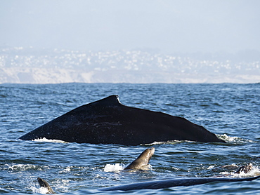 California sea lions (Zalophus californianus), with humpback whale, Monterey Bay National Marine Sanctuary, California, United States of America, North America