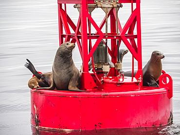 California sea lions (Zalophus californianus) on buoy in Monterey Bay National Marine Sanctuary, California, United States of America, North America