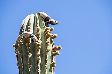 San Esteban spiny-tailed iguanas (Ctenosaura conspicuosa), eating cactus, Isla San Esteban, Baja California, Mexico, North America