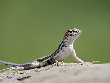 Adult zebra-tailed lizard (Callisaurus draconoides) basking in the sun, San Jose del Cabo, Baja California Sur, Mexico, North America