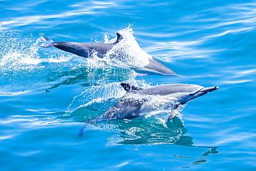 Long-beaked common dolphins (Delphinus capensis), off Isla San Marcos, Baja California Sur, Mexico, North America