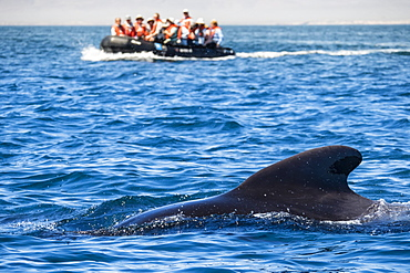 Short-finned pilot whale (Globicephala macrorhynchus), with Zodiacs off Isla San Marcos, Baja California Sur, Mexico, North America