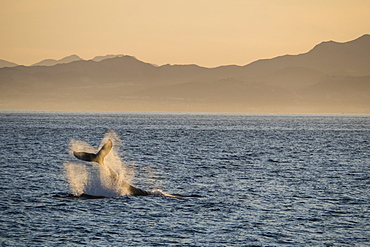 Adult humpback whale (Megaptera novaeangliae), tail-lobbing at Los Cabos, Baja California Sur, Mexico, North America