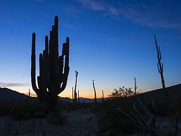 Mexican giant cardon (Pachycereus pringlei), in the Sonoran Desert of Bahia de los Angeles, Baja California, Mexico, North America