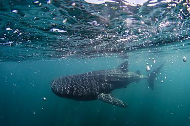 Juvenile whale shark (Rhincodon typus), underwater near Los Islotes, Baja California Sur, Mexico, North America