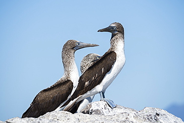 Three adult blue-footed boobies (Sula nebouxii), on Isla San Marcos, Baja California Sur, Mexico, North America