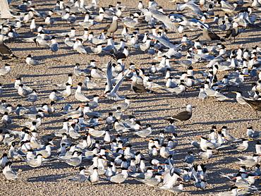 Hundreds of elegant terns (Thalasseus elegans), nesting on tiny Isla Rasa, Baja California, Mexico, North America