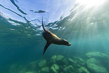 Playful California sea lion (Zalophus californianus), underwater at Los Islotes, Baja California Sur, Mexico, North America
