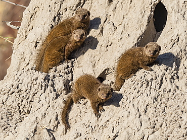 Dwarf mongoose (Helogale parvula), den inside a termite mound in the Okavango Delta, Botswana, Africa
