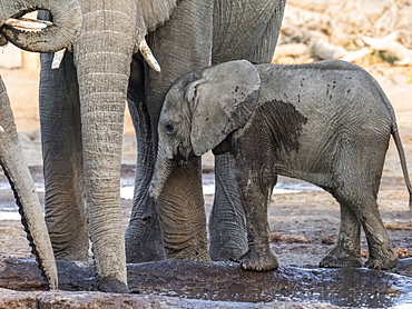 African elephant (Loxodonta africana), calf drinking at a watering hole in the Okavango Delta, Botswana, Africa