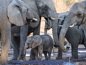 African elephant (Loxodonta africana), herd drinking at a watering hole in the Okavango Delta, Botswana, Africa
