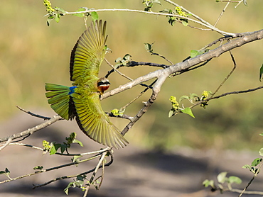 An adult white-fronted bee-eater (Merops bullockoides), taking flight in Chobe National Park, Botswana, Africa