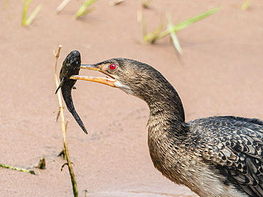 An adult reed cormorant (Phalacrocorax africanus), with a small catfish in Chobe National Park, Botswana, Africa