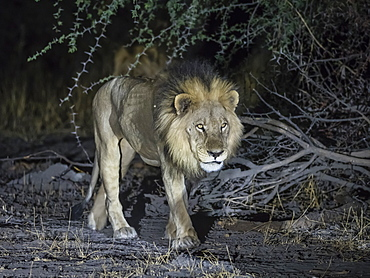 Adult male lion (Panthera leo), hunting at night in the Okavango Delta, Botswana, Africa