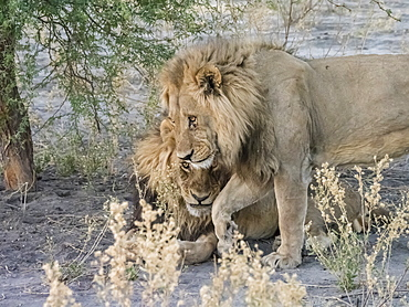 Adult male lions (Panthera leo), in the Okavango Delta, Botswana, Africa