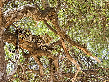 An adult leopard (Panthera pardus), feeding on a warthog it dragged up in a tree in Chobe National Park, Botswana, Africa
