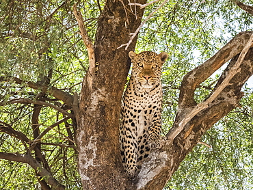 An adult leopard (Panthera pardus), done feeding on a warthog it dragged up in a tree in Chobe National Park, Botswana, Africa