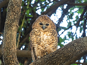 A young Pel's fishing-owl (Scotopelia peli), in the Okavango Delta, Botswana, Africa