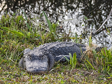 A wild American alligator (Alligator mississippiensis), in Shark Valley, Everglades National Park, Florida, United States of America, North America