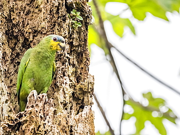 An adult orange-winged parrot (Amazona amazonica), in Iricahua Cano, Amazon Basin, Loreto, Peru, South America