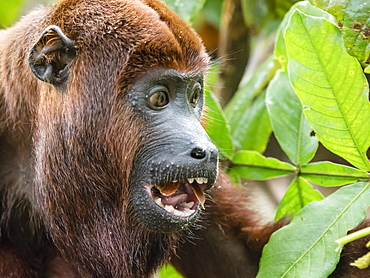 Adult male red howler monkey (Alouatta seniculus), in the village of San Francisco, Amazon Basin, Peru, South America