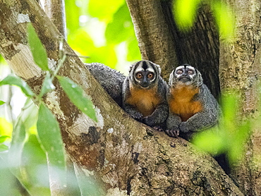 Adult Spix's night monkeys (Aotus vociferans), in Pahuachiro Creek, Amazon River Basin, Iquitos, Peru, South America