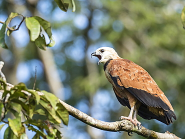 An adult black-collared hawk (Busarellus nigricollis), Nauta Cano, Pacaya-Samiria Reserve, Peru, South America