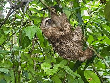 Adult brown-throated sloth (Bradypus variegatus), Yanayacu Lake, Rio Pacaya, Amazon Basin, Loreto, Peru, South America