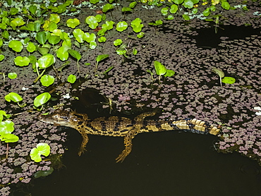 A young spectacled caiman (Caiman crocodilus) at night on Rio El Dorado, Ucayali River, Amazon Basin, Loreto, Peru, South America