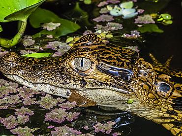 A young spectacled caiman (Caiman crocodilus), eye detail at night on Rio El Dorado, Ucayali River, Loreto, Peru, South America