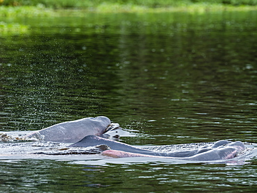 Adult Amazon pink river dolphins (Inia geoffrensis), Yanayacu Lake, Pacaya-Samiria Reserve, Loreto, Peru, South America
