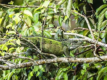 An adult Green Iguana (Iguana iguana) basking in the sun on the Yanayacu River, Amazon Basin, Loreto, Peru, South America