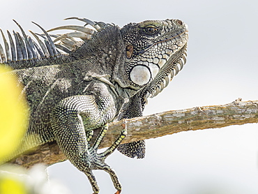 An adult Green Iguana (Iguana iguana), basking in the sun on the Yanayacu River, Amazon Basin, Loreto, Peru, South America