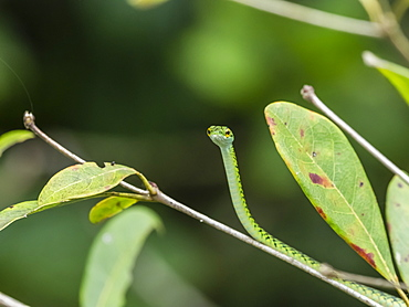 Black-skinned parrot snake (Leptophis ahaetulla nigromarginatus), Pacaya River, Amazon Basin, Loreto, Peru, South America