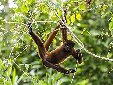 An adult common woolly monkey (Lagothrix lagothricha), on Pacalpa Cano, Pacaya Samiria Reserve, Peru, South America