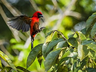Adult masked crimson tanager (Ramphocelus nigrogularis), Pacalpa Cano, Pacaya Samiria Reserve, Loreto, Peru, South America