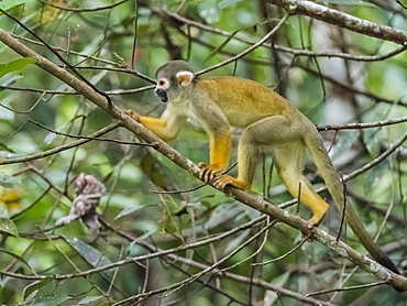 Adult common squirrel monkey (Saimiri sciureus), Pahuachiro tributary, Amazon Basin, Loreto, Peru, South America