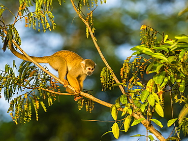 Adult common squirrel monkey (Saimiri sciureus), Lake Clavero, Amazon Basin, Loreto, Peru, South America