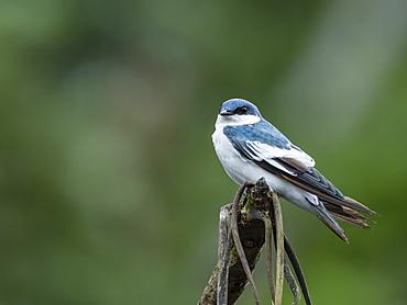 An adult white-winged swallow (Tachycineta albiventer), Belluda Creek, Ucayali River, Amazon River Basin, Peru, South America