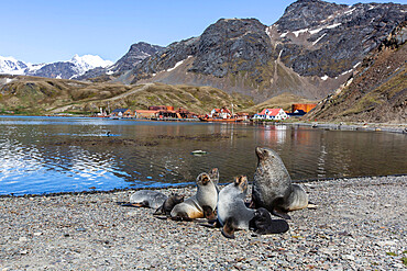 Antarctic fur seal harem (Arctocephalus gazella) at the old whaling station at Grytviken, South Georgia Island, Polar Regions