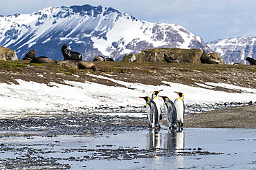 Adult king penguins (Aptenodytes patagonicus) at breeding colony at Salisbury Plain, South Georgia Island, Polar Regions