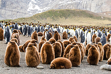 Adult king penguins and oakum boy chicks (Aptenodytes patagonicus), at Gold Harbor, South Georgia Island, Polar Regions