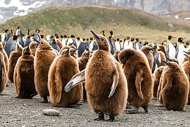 King penguin oakum boy chicks (Aptenodytes patagonicus), molting their down at Gold Harbor, South Georgia Island, Polar Regions