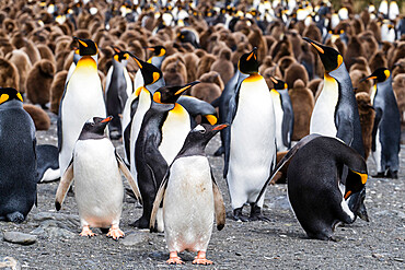 Adult gentoo penguins (Pygoscelis papua) on the beach with king penguins at Gold Harbor, South Georgia Island, Polar Regions