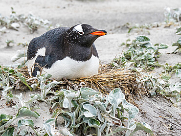 Gentoo penguin (Pygoscelis papua) at nesting site on Bull Point, East Island, Falkland Islands, South America